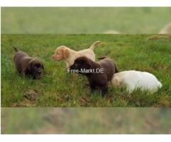 Herrlicher Labrador-Apportierhundwelpe.
