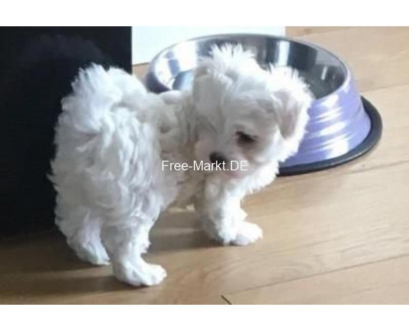 Kostenlose Kleinanzeigen Verkaufen Und Kaufen Deutschland Hunde Germany Brandenburg Wunderschone Malteser Babys Welpen Mit