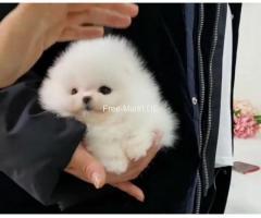 Wunderschöne Zwergspitz Pomeranian welp