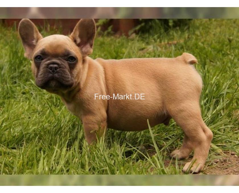 Französische. Bulldogge Welpen mit papieren - 1/1