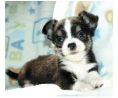 Zuckersüße Reinrassige Mini Chihuahua welpen