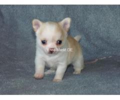 Traumhaft Chihuahua Welpen mit Ahnentafel