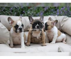 Französische Bulldog Welpen mit Papieren mini
