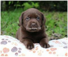Wunderschöne Labrador Welpen in schokobraun