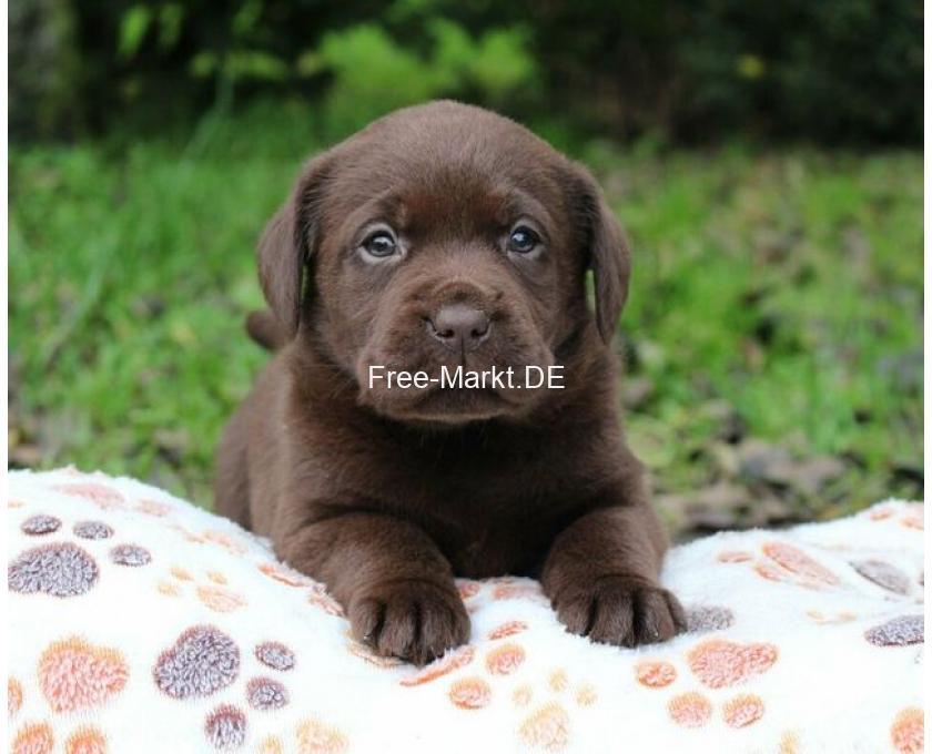 Wunderschöne Labrador Welpen in schokobraun - 2/2