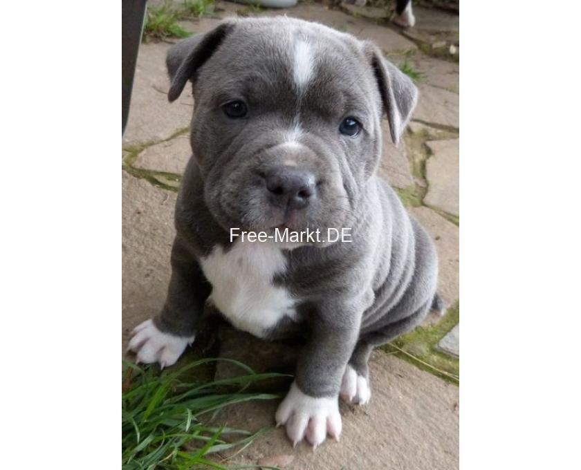 Kostenlose Kleinanzeigen Verkaufen Und Kaufen Deutschland Hunde Germany Baden Wurttemberg Reinrassige American Pit Bull Terrier Welpen