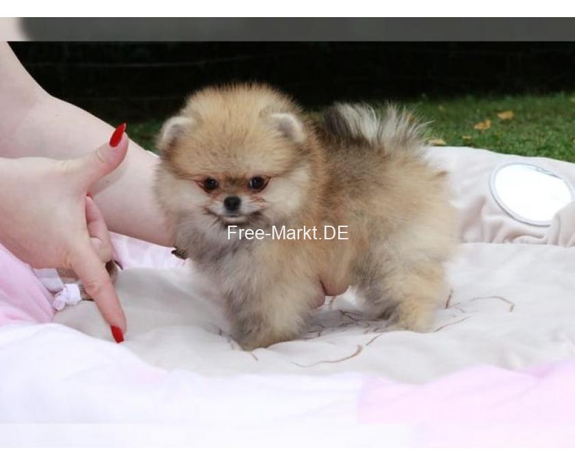 Kostenlose Kleinanzeigen Verkaufen Und Kaufen Deutschland Hunde Germany Nordrhein Westfalen Wunderschone Mini Pomeranian Zwergspitz Welpen