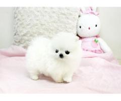 Wunderschöne Mini Pomeranian Zwergspitz Welpen