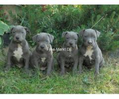 American PitBull Terrier Welpen 12 wochen alt
