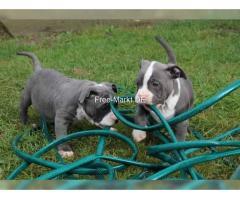 American Pitbull Blueline welpen 12 Wochen alt