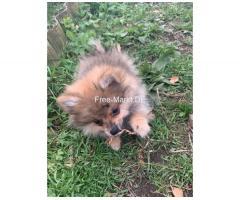 Zwergspitz Pomeranian zu Verkaufen