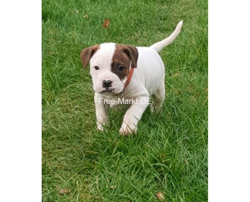 Kostenlose Kleinanzeigen Verkaufen Und Kaufen Deutschland Hunde Germany Sachsen Floha American Bulldog Welpen