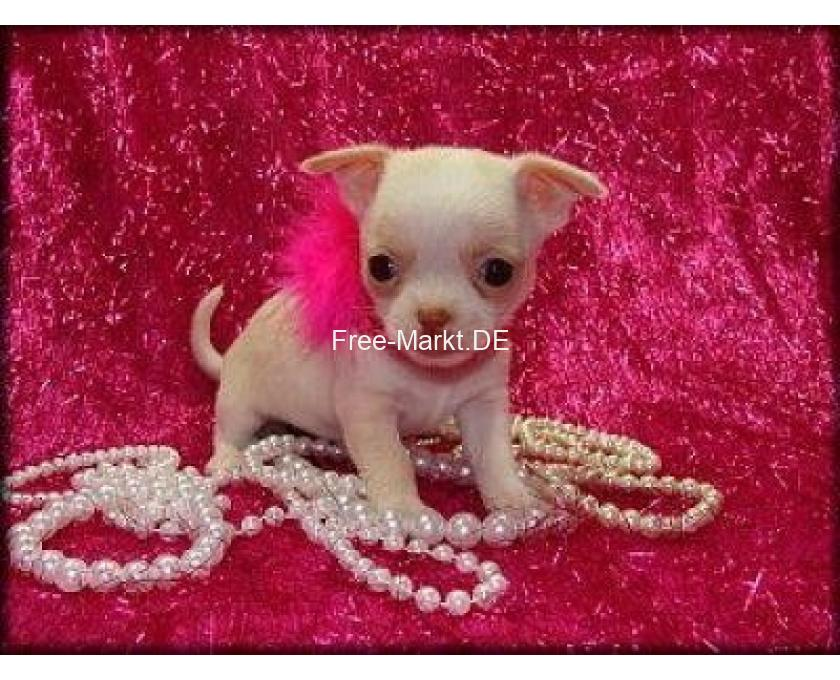 Chihuahua Mix Pupp Chihuahua Mix Puppy Chihuahua Breeds Chihuahua Dogs Baby Animals