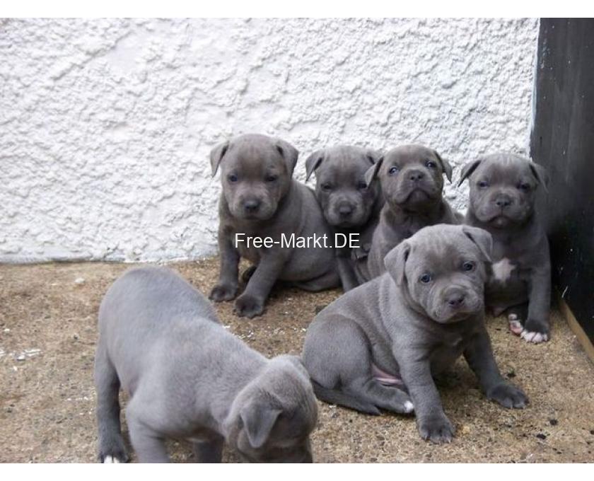 Kostenlose Kleinanzeigen Verkaufen Und Kaufen Deutschland Hunde Germany Sachsen American Staffordshire Terrier Blueline Welpen