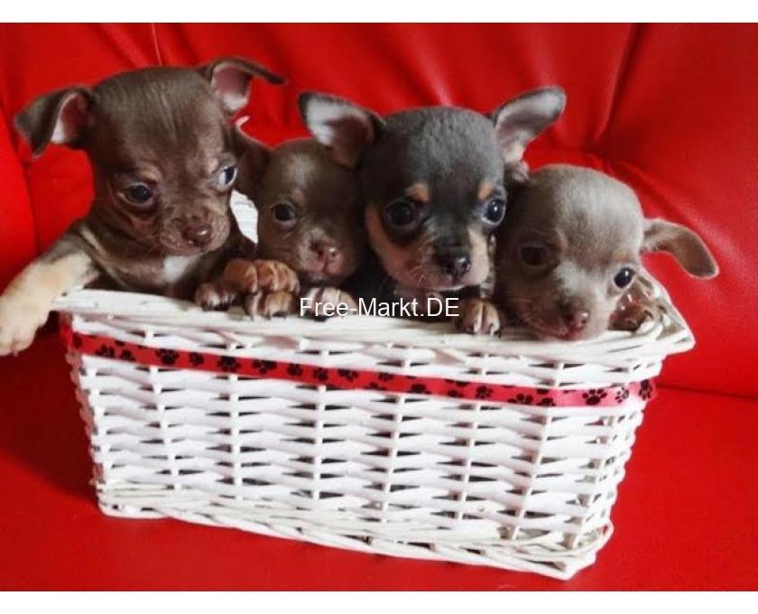 Kostenlose Kleinanzeigen Verkaufen Und Kaufen Deutschland Hunde Germany Mecklenburg Vorpommern Lanckensburg Super Chihuahua Welpen In Kurzhaar Vdh Fci Klasse Statt Ma