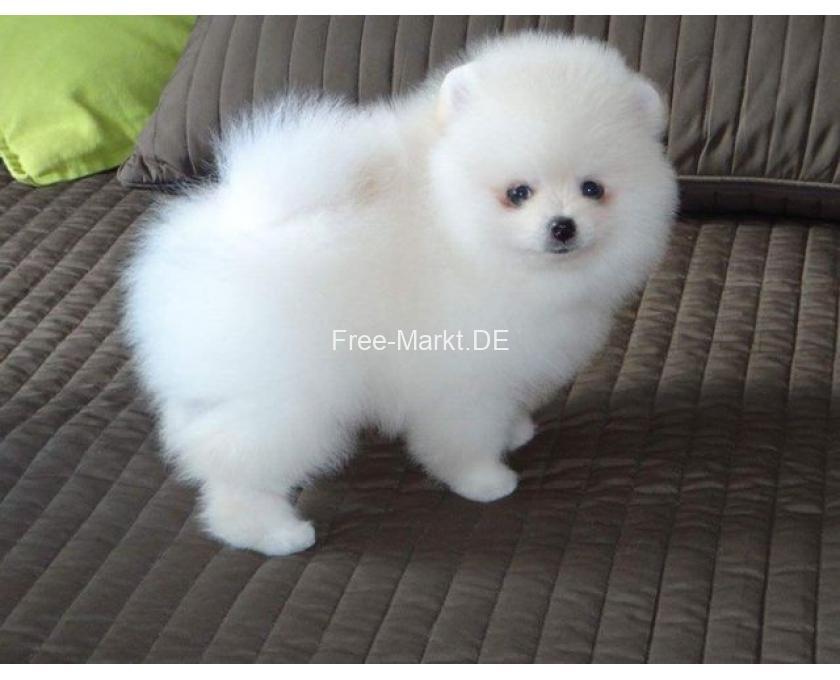 Kostenlose Kleinanzeigen Verkaufen Und Kaufen Deutschland Hunde Germany Thuringen Pomeranian Zwergspitz Boo Welpen Zum Verschenken