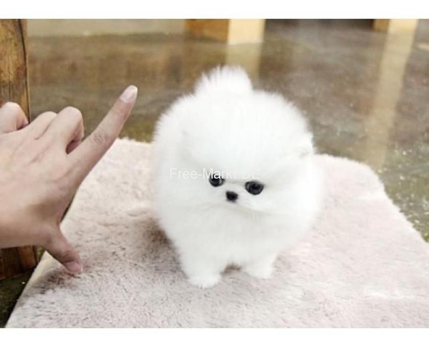 Baby Hunde Zu Verkaufen