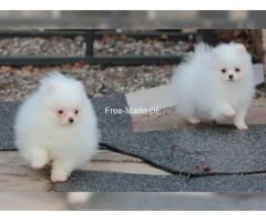 Bezaubernde kleine Pomeranian-Zwergspitzwelpen