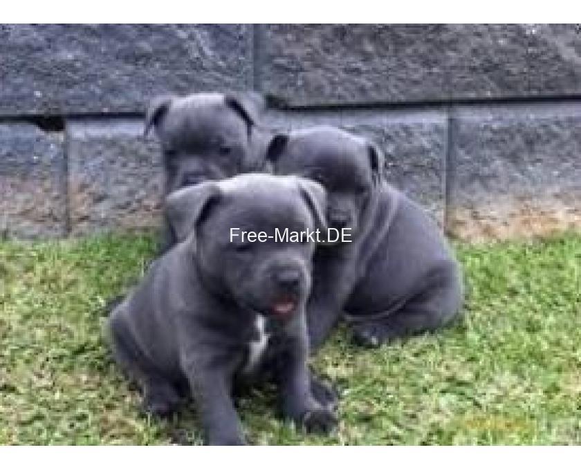 Kostenlose Kleinanzeigen Verkaufen Und Kaufen Deutschland Hunde Germany Baden Wurttemberg Alter Gobricherweg Reinrassige American Pit Bull Terrier Welpen