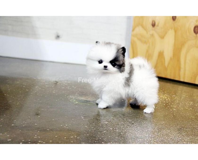 Mini Micro Teacup Pomeranian Zwergspitz - 1/1