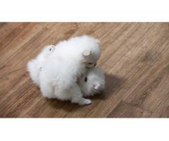 Pomeranian Welpen männlich und weiblich