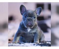 Wunderschöne Französische Bulldoggen Welpen in blau mit Ahne