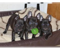 Traumhafte französische Bulldogge Welpen