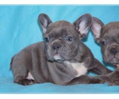 Traumhafte Französische Bulldoggen Welpen mit Ahnentafel