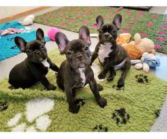 Französische Bulldoggen Welpen suchen ein neues Zuhause