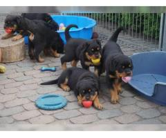 Rottweiler Welpen suchen Ihre Familie - Ahnentafel