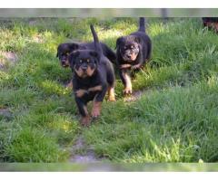 Rottweiler-Welpen suchen liebevolles Zuhause
