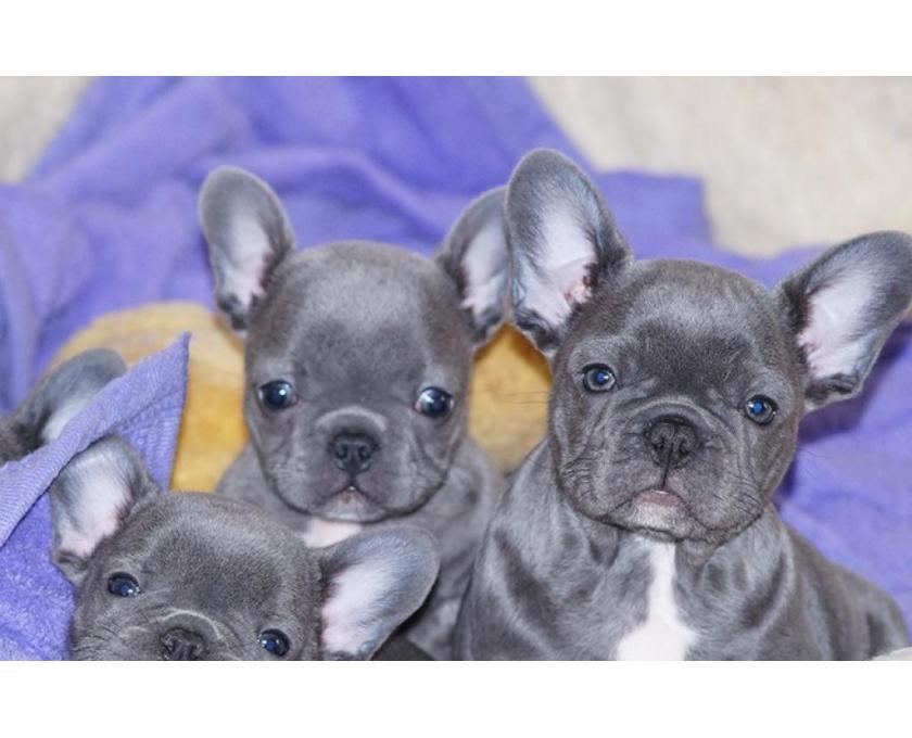 Kostenlose Kleinanzeigen Verkaufen Und Kaufen Deutschland Hunde Germany Hessen Franzosische Bulldogge Welpen In Blau Mit Papieren