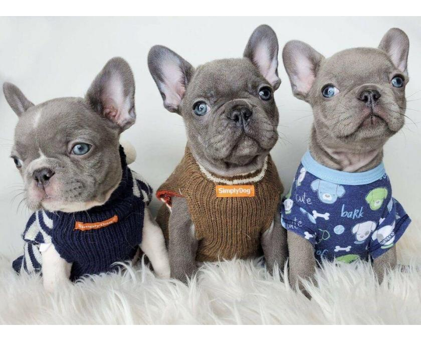 Kostenlose Kleinanzeigen Verkaufen Und Kaufen Deutschland Hunde Germany Thuringen Tonndorf Franzosische Bulldogge Welpen