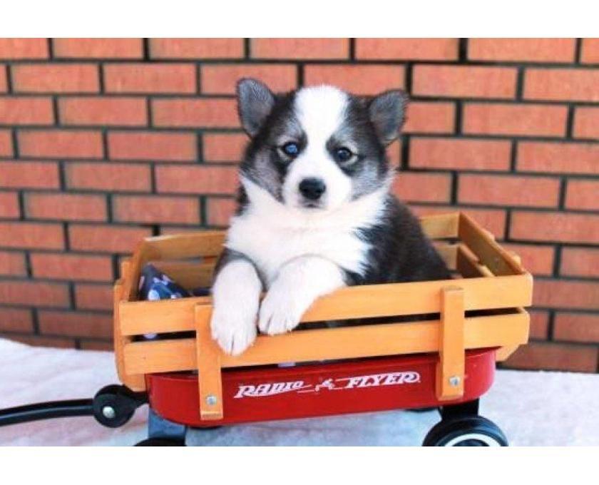 Kostenlose Kleinanzeigen Verkaufen Und Kaufen Deutschland Hunde Germany Brandenburg Barsdorf Reinrassige Pomsky Welpen