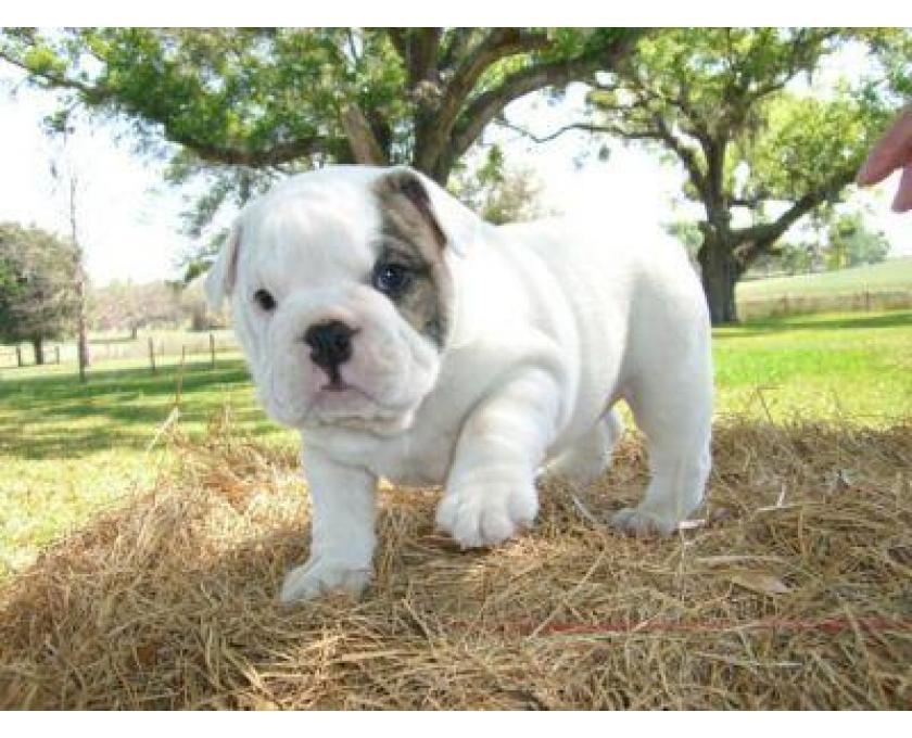Kostenlose Kleinanzeigen Verkaufen Und Kaufen Deutschland Hunde Germany Rheinland Pfalz Englische Bulldogge Welpen Mit Papieren