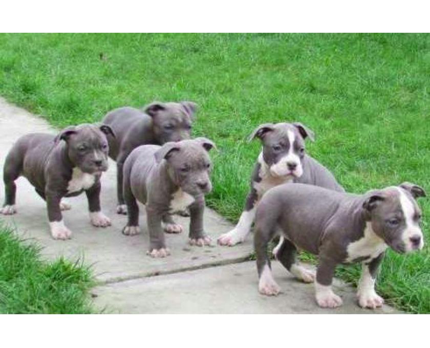 Kostenlose Kleinanzeigen Verkaufen Und Kaufen Deutschland Hunde Germany Baden Wurttemberg Schone American Staffordshire Terrier Pitbull Welpen