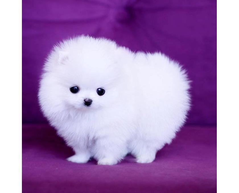 Boo Pomeranian Zwergspitz Welpen - 1/2