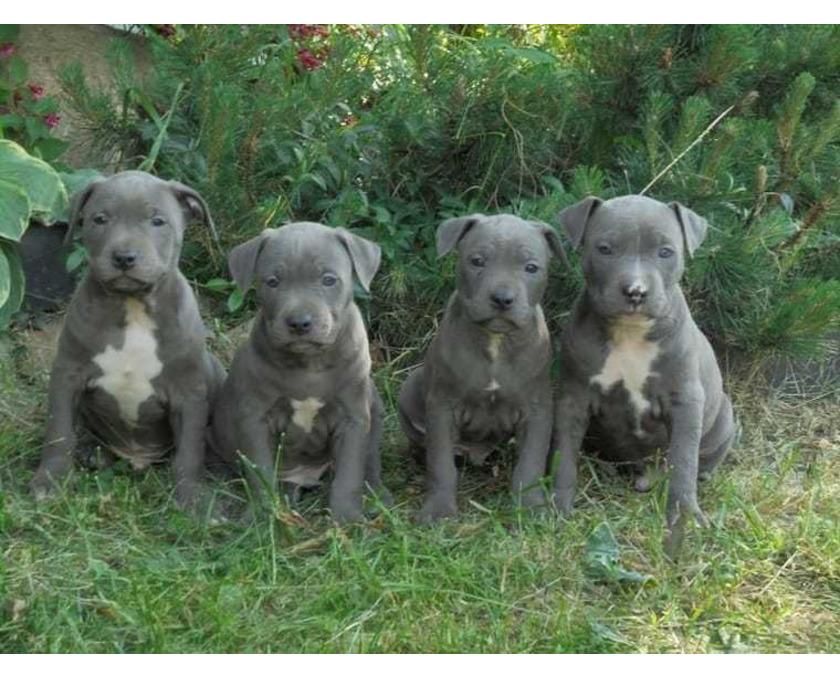 Schöne American Staffordshire Terrier / Pitbull Welpen - 1/2