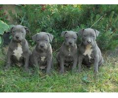 Schöne American Staffordshire Terrier / Pitbull Welpen - Bild 1/2