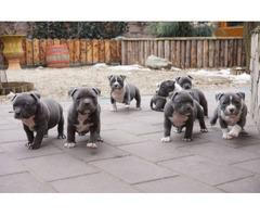 Schöne American Staffordshire Terrier / Pitbull Welpen - Bild 2/2