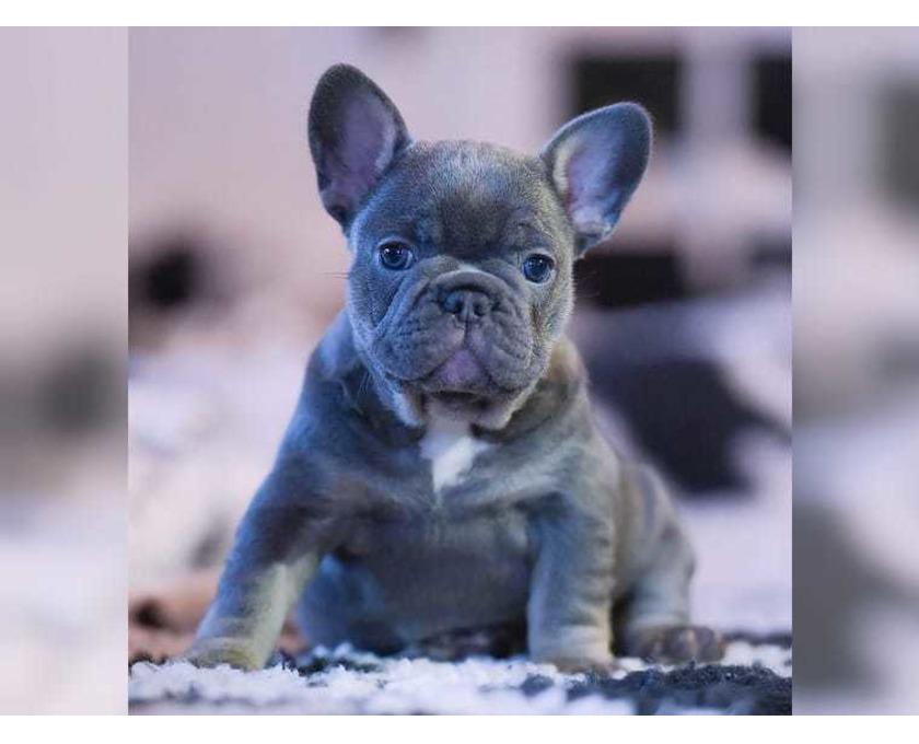 Kostenlose Kleinanzeigen Verkaufen Und Kaufen Deutschland Hunde Germany Nordrhein Westfalen Sehr Schone Typvolle Reinrassige Franzosische Bulldogge Hund