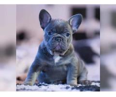 Sehr schöne typvolle reinrassige Französische Bulldogge Hund