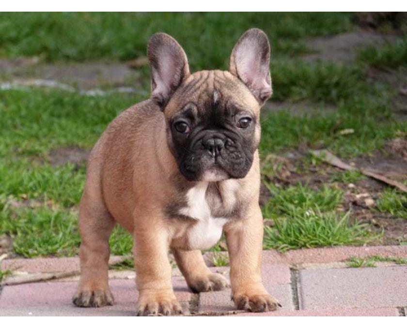 Traumhafte Französische Bulldoggen Welpen mit Ahnentafel - 1/2