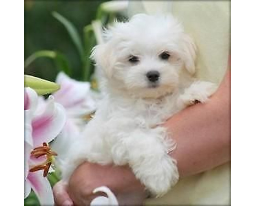 Kostenlose Kleinanzeigen Verkaufen Und Kaufen Deutschland Hunde Germany Brandenburg Susse Mini Malteser Welpen
