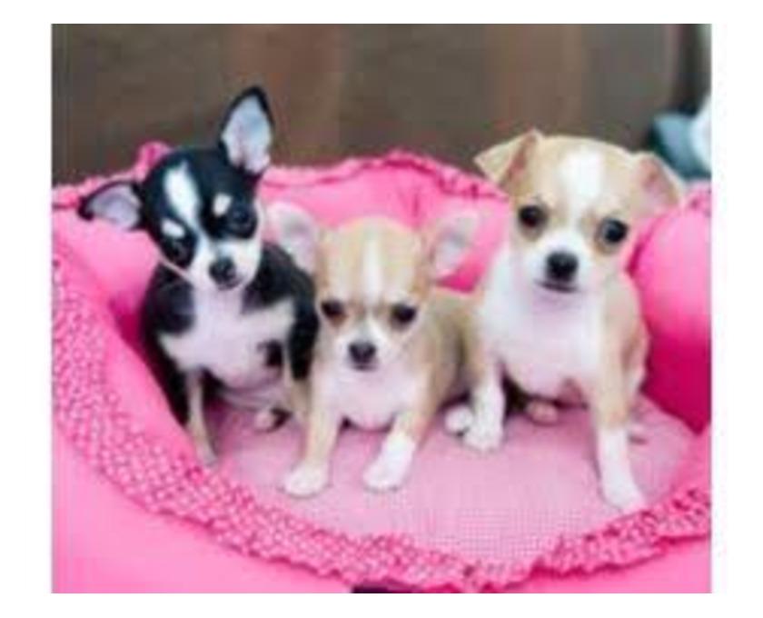 Kostenlose Kleinanzeigen Verkaufen Und Kaufen Deutschland Hunde Germany Bayern Vilsworth Reinrassiger Chihuahua Welpen Kurzhaar