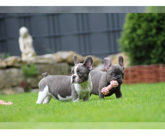 Französische Bulldogge Welpe Hündin Blau Blue Pied Blue Brin