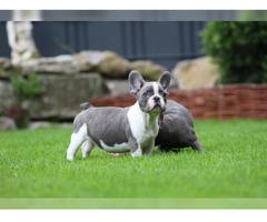 Französische Bulldogge Welpe Rüde Hündin Schwarz/Brindle
