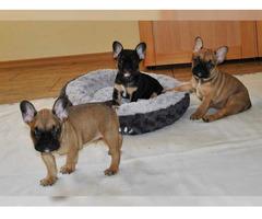 Französische Bulldoggen Welpen Whatsapp :+491732426064