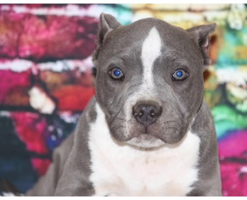 Kostenlose Kleinanzeigen Verkaufen Und Kaufen Deutschland Hunde Germany Bayern Abenberg American Pit Bull Terrier Welpen Zu Verkaufen