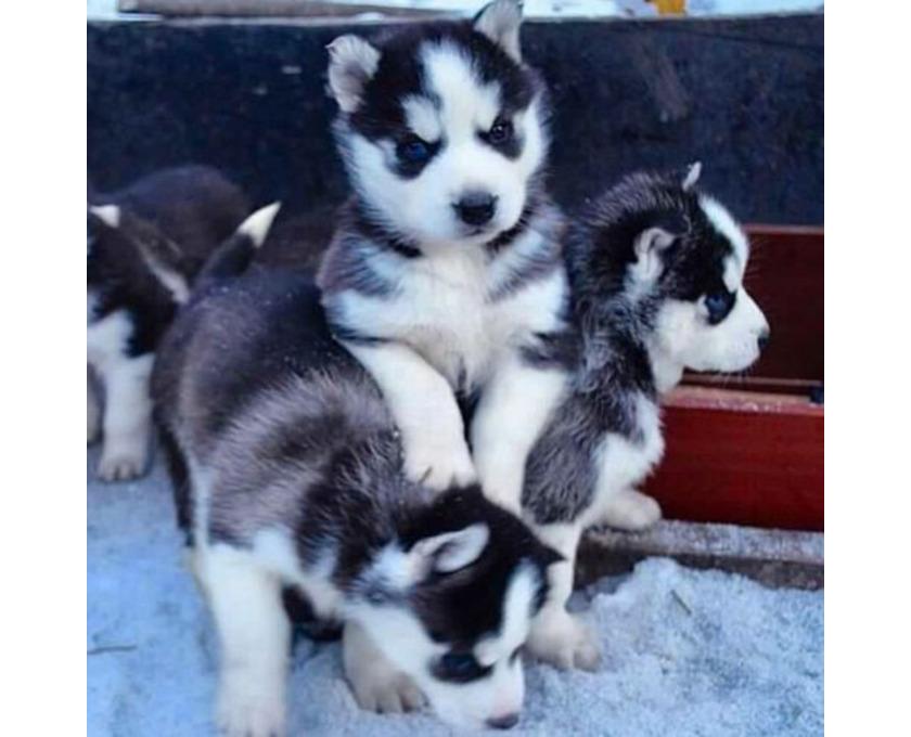 Kostenlose Kleinanzeigen Verkaufen Und Kaufen Deutschland Hunde Germany Hessen Bockendorf Gesund Super Nette Pomsky Welpen Bereit Jetzt Zu